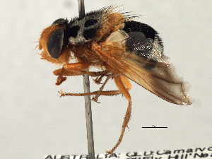 (Amphitropesa - CNC DIPTERA 197450)  @11 [ ] CreativeCommons - Attribution Non-Commercial Share-Alike (2013) BIO Photography Group/CNC Biodiversity Institute of Ontario