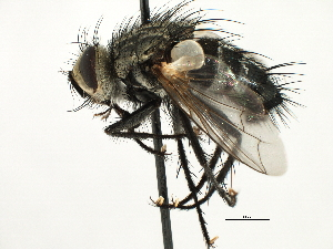(Exoristini sp. 3 - CNC DIPTERA 197455)  @11 [ ] CreativeCommons - Attribution Non-Commercial Share-Alike (2013) BIO Photography Group/CNC Biodiversity Institute of Ontario