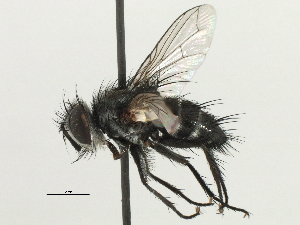 (Chaetoria - CNC DIPTERA 197456)  @11 [ ] CreativeCommons - Attribution Non-Commercial Share-Alike (2013) BIO Photography Group/CNC Biodiversity Institute of Ontario