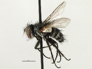 (Exoristini sp. 6 - CNC DIPTERA 197457)  @11 [ ] CreativeCommons - Attribution Non-Commercial Share-Alike (2013) BIO Photography Group/CNC Biodiversity Institute of Ontario
