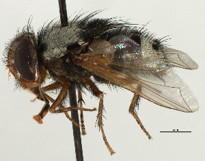 (Metaphryno - CNC DIPTERA 197458)  @15 [ ] CreativeCommons - Attribution Non-Commercial Share-Alike (2013) BIO Photography Group/CNC Biodiversity Institute of Ontario