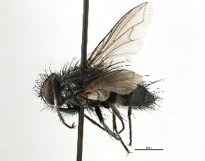 (Aneogmena - CNC DIPTERA 197463)  @11 [ ] CreativeCommons - Attribution Non-Commercial Share-Alike (2013) BIO Photography Group/CNC Biodiversity Institute of Ontario