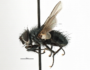 (Eryciini sp. 6 - CNC DIPTERA 197465)  @16 [ ] CreativeCommons - Attribution Non-Commercial Share-Alike (2013) BIO Photography Group/CNC Biodiversity Institute of Ontario