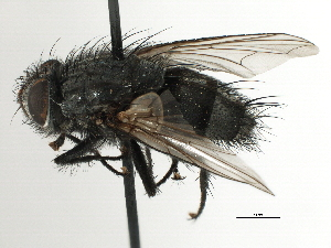 (Peseudalsomyia - CNC DIPTERA 197468)  @11 [ ] CreativeCommons - Attribution Non-Commercial Share-Alike (2013) BIO Photography Group/CNC Biodiversity Institute of Ontario