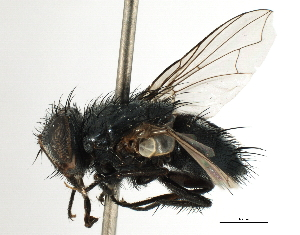 (Eryciini sp. 7 - CNC DIPTERA 197469)  @11 [ ] CreativeCommons - Attribution Non-Commercial Share-Alike (2013) BIO Photography Group/CNC Biodiversity Institute of Ontario