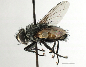 (Ethillini sp. 1 - CNC DIPTERA 197470)  @13 [ ] CreativeCommons - Attribution Non-Commercial Share-Alike (2013) BIO Photography Group/CNC Biodiversity Institute of Ontario