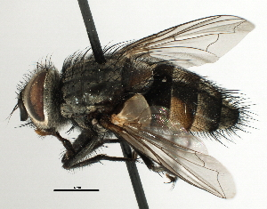 (Ethillini - CNC DIPTERA 197471)  @14 [ ] CreativeCommons - Attribution Non-Commercial Share-Alike (2013) BIO Photography Group/CNC Biodiversity Institute of Ontario