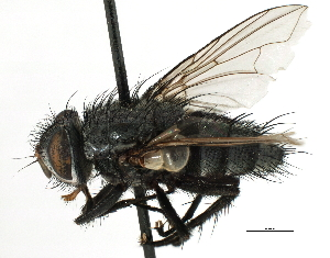 (Sturmiini sp. 6 - CNC DIPTERA 197474)  @13 [ ] CreativeCommons - Attribution Non-Commercial Share-Alike (2013) BIO Photography Group/CNC Biodiversity Institute of Ontario