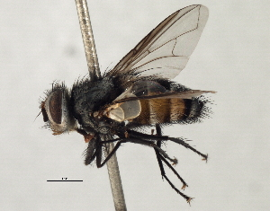 (Sturmiini sp. 15 - CNC DIPTERA 197476)  @11 [ ] CreativeCommons - Attribution Non-Commercial Share-Alike (2013) BIO Photography Group/CNC Biodiversity Institute of Ontario
