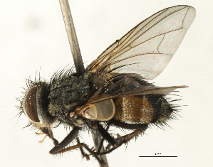 (Sturmiini sp. 14 - CNC DIPTERA 197477)  @11 [ ] CreativeCommons - Attribution Non-Commercial Share-Alike (2013) BIO Photography Group/CNC Biodiversity Institute of Ontario