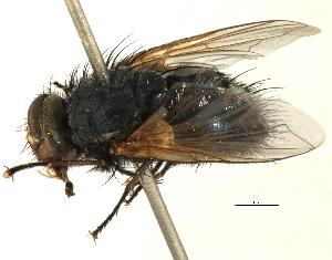 (Tasmaniomyia - CNC DIPTERA 197480)  @11 [ ] CreativeCommons - Attribution Non-Commercial Share-Alike (2013) BIO Photography Group/CNC Biodiversity Institute of Ontario