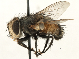 (Tritaxis - CNC DIPTERA 197481)  @15 [ ] CreativeCommons - Attribution Non-Commercial Share-Alike (2013) BIO Photography Group/CNC Biodiversity Institute of Ontario
