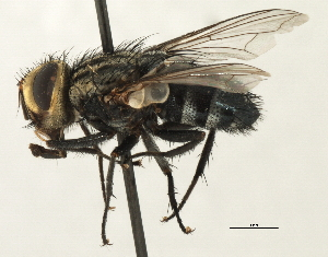 (Sturmiini sp. 2 - CNC DIPTERA 197483)  @11 [ ] CreativeCommons - Attribution Non-Commercial Share-Alike (2013) BIO Photography Group/CNC Biodiversity Institute of Ontario