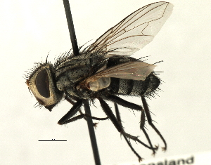 (Sturmiini sp. 3 - CNC DIPTERA 197484)  @11 [ ] CreativeCommons - Attribution Non-Commercial Share-Alike (2013) BIO Photography Group/CNC Biodiversity Institute of Ontario