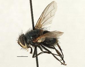 (Sturmiini Sturmiini sp. 5 - CNC DIPTERA 197485)  @11 [ ] CreativeCommons - Attribution Non-Commercial Share-Alike (2013) BIO Photography Group/CNC Biodiversity Institute of Ontario
