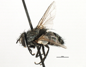 (Sturmiini sp. 8 - CNC DIPTERA 197487)  @11 [ ] CreativeCommons - Attribution Non-Commercial Share-Alike (2013) BIO Photography Group/CNC Biodiversity Institute of Ontario