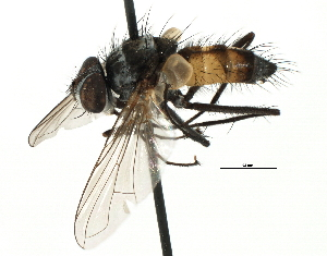 (Blondeliini - CNC DIPTERA 197492)  @11 [ ] CreativeCommons - Attribution Non-Commercial Share-Alike (2013) BIO Photography Group/CNC Biodiversity Institute of Ontario