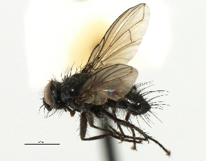 (Blondeliini sp. 2 - CNC DIPTERA 197493)  @11 [ ] CreativeCommons - Attribution Non-Commercial Share-Alike (2013) BIO Photography Group/CNC Biodiversity Institute of Ontario