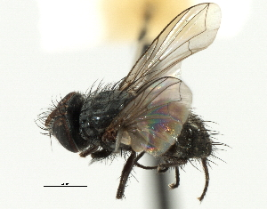 (Anagonia - CNC DIPTERA 197496)  @11 [ ] CreativeCommons - Attribution Non-Commercial Share-Alike (2013) BIO Photography Group/CNC Biodiversity Institute of Ontario