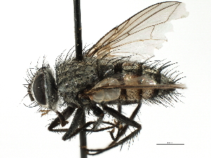(Blondeliini sp. 5 - CNC DIPTERA 197498)  @11 [ ] CreativeCommons - Attribution Non-Commercial Share-Alike (2013) BIO Photography Group/CNC Biodiversity Institute of Ontario