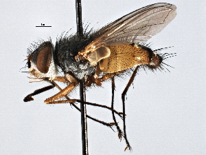 (TachinidaeGEN - CNC DIPTERA 197508)  @15 [ ] CreativeCommons - Attribution Non-Commercial Share-Alike (2013) BIO Photography Group/CNC Biodiversity Institute of Ontario