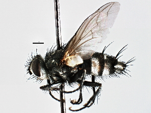 (Ceracia - CNC DIPTERA 197510)  @15 [ ] CreativeCommons - Attribution Non-Commercial Share-Alike (2013) BIO Photography Group/CNC Biodiversity Institute of Ontario