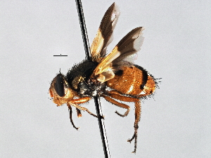 (Neximyia - CNC DIPTERA 197512)  @14 [ ] CreativeCommons - Attribution Non-Commercial Share-Alike (2013) BIO Photography Group/CNC Biodiversity Institute of Ontario