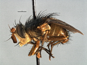 (Chaetophthalmus - CNC DIPTERA 197513)  @11 [ ] CreativeCommons - Attribution Non-Commercial Share-Alike (2013) BIO Photography Group/CNC Biodiversity Institute of Ontario
