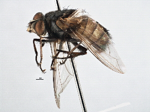 (Prodiaphania - CNC DIPTERA 197514)  @14 [ ] CreativeCommons - Attribution Non-Commercial Share-Alike (2013) BIO Photography Group/CNC Biodiversity Institute of Ontario
