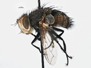 (Tritaxys - CNC DIPTERA 197517)  @14 [ ] CreativeCommons - Attribution Non-Commercial Share-Alike (2013) BIO Photography Group/CNC Biodiversity Institute of Ontario