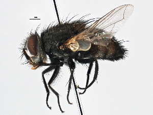 (Sturmiini sp. 4 - CNC DIPTERA 197519)  @15 [ ] CreativeCommons - Attribution Non-Commercial Share-Alike (2013) BIO Photography Group/CNC Biodiversity Institute of Ontario