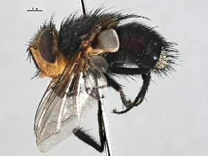 (Eurygastropsis - CNC DIPTERA 197520)  @11 [ ] CreativeCommons - Attribution Non-Commercial Share-Alike (2013) BIO Photography Group/CNC Biodiversity Institute of Ontario
