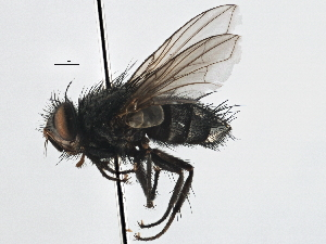 (Sturmiini sp. 6 - CNC DIPTERA 197529)  @13 [ ] CreativeCommons - Attribution Non-Commercial Share-Alike (2013) BIO Photography Group/CNC Biodiversity Institute of Ontario