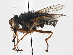 (Parerigonini sp. 1 - CNC DIPTERA 197530)  @11 [ ] CreativeCommons - Attribution Non-Commercial Share-Alike (2013) BIO Photography Group/CNC Biodiversity Institute of Ontario