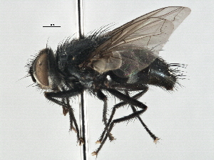 (Mycteromyiella - CNC DIPTERA 197535)  @11 [ ] CreativeCommons - Attribution Non-Commercial Share-Alike (2013) BIO Photography Group/CNC Biodiversity Institute of Ontario