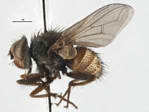 (Palpostoma - CNC DIPTERA 197537)  @11 [ ] CreativeCommons - Attribution Non-Commercial Share-Alike (2013) BIO Photography Group/CNC Biodiversity Institute of Ontario