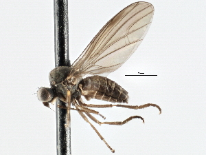 (Platypezidae - CNC DIPTERA 197585)  @15 [ ] CreativeCommons - Attribution Non-Commercial Share-Alike (2013) BIO Photography Group/CNC Biodiversity Institute of Ontario