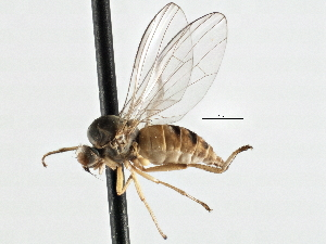 (Platypezidae - CNC DIPTERA 197596)  @15 [ ] CreativeCommons - Attribution Non-Commercial Share-Alike (2013) BIO Photography Group/CNC Centre for Biodiversity Genomics