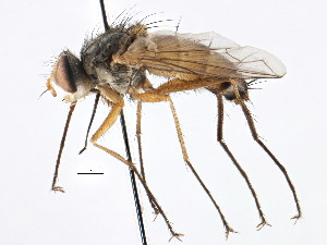 (Sipholeskia - CNC DIPTERA 197671)  @11 [ ] CreativeCommons - Attribution Non-Commercial Share-Alike (2013) BIO Photography Group/CNC Biodiversity Institute of Ontario