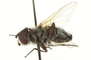 (Elomyia - CNC DIPTERA 161868)  @13 [ ] CreativeCommons - Attribution Non-Commercial Share-Alike (2012) CNC/BIO Photography Group Biodiversity Institute of Ontario