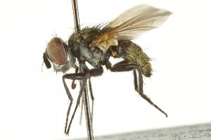 (Heliozeta - CNC DIPTERA 161871)  @14 [ ] CreativeCommons - Attribution Non-Commercial Share-Alike (2012) CNC/BIO Photography Group Biodiversity Institute of Ontario
