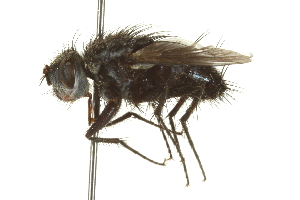(Trichoceronia - CNC DIPTERA 162043)  @11 [ ] CreativeCommons - Attribution Non-Commercial Share-Alike (2012) CNC/BIO Photography Group Biodiversity Institute of Ontario