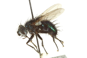 (Janthinomyia - CNC DIPTERA 162075)  @11 [ ] CreativeCommons - Attribution Non-Commercial Share-Alike (2012) CNC/BIO Photography Group Biodiversity Institute of Ontario