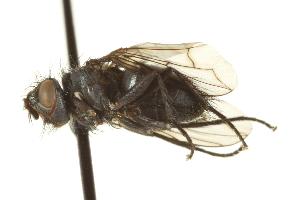 (Chromatocera - CNC DIPTERA 162235)  @11 [ ] CreativeCommons - Attribution Non-Commercial Share-Alike (2012) CNC/BIO Photography Group Biodiversity Institute of Ontario