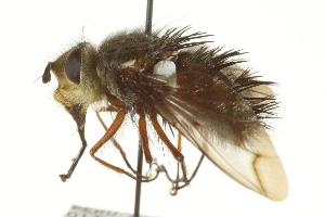 (Echinopyrrhosia - CNC DIPTERA 162338)  @11 [ ] CreativeCommons - Attribution Non-Commercial Share-Alike (2012) CNC/BIO Photography Group Biodiversity Institute of Ontario