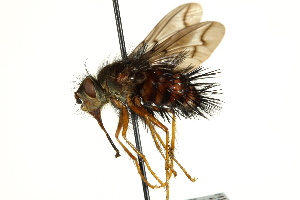 (Rhynchoepalpus - CNC DIPTERA 162428)  @11 [ ] CreativeCommons - Attribution Non-Commercial Share-Alike (2012) CNC/BIO Photography Group Biodiversity Institute of Ontario