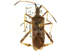 (Coreinae - CNC#HEM302340)  @15 [ ] CreativeCommons - Attribution Non-Commercial Share-Alike (2011) CNC/BIO Photography Group Biodiversity Institute of Ontario