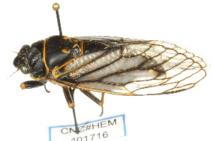 (Platypedinae - CNC#HEM401716)  @15 [ ] CreativeCommons - Attribution Non-Commercial Share-Alike (2011) CNC/BIO Photography Group Centre for Biodiversity Genomics