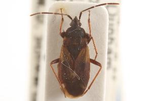 (Rhyparochromidae - CNC#HEM305140)  @15 [ ] CreativeCommons - Attribution Non-Commercial Share-Alike (2012) CNC/BIO Photography Group Biodiversity Institute of Ontario