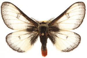 (Hemileuca lucina - BIOUG10886-D05)  @15 [ ] CreativeCommons - Attribution Non-Commercial Share-Alike (2014) CBG Photography Group Centre for Biodiversity Genomics